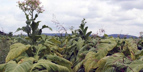 Franklin County, VA Tobacco Field